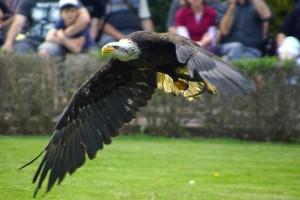 Ein Adler schwingt sich, während einer Flugshow im Vogelpark Marlow, gekonnt durch die Lüfte.
