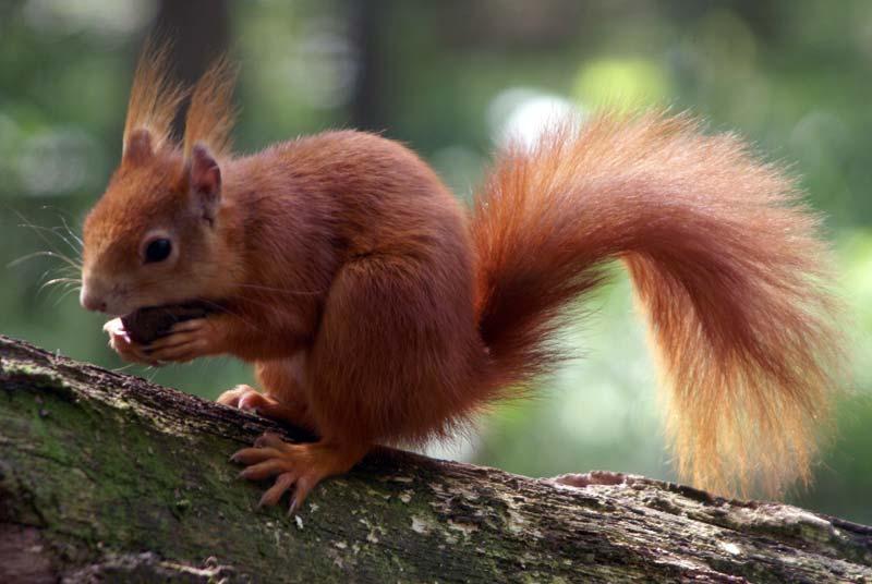 Eichhörnchen im Natur- und Umweltpark Güstrow